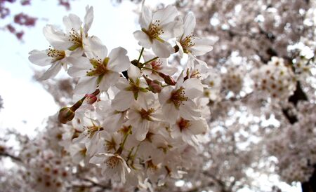 Close-up on blooming pink cherry tree flower clusters, for early spring backgrounds 写真素材