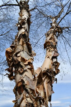 Close-up on bark peeling off a cluster of tree trunks in early spring botany backgrounds