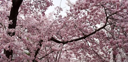 Springtime cherry trees in full bloom pink flower branches.