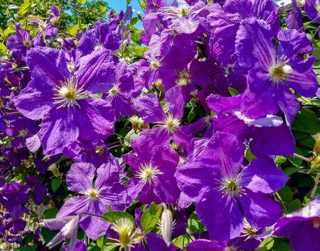 Cluster of violet climbing Clematis flowers for floral landscape backgrounds