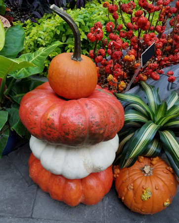 Colorful, ripe pumpkins in a stack, ready for the Halloween and Thanksgiving holidays for autumn backgrounds. 写真素材