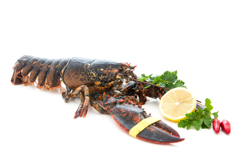 very good fresh european lobster, homarus gammarus, of atlantic coast Isolated with white background