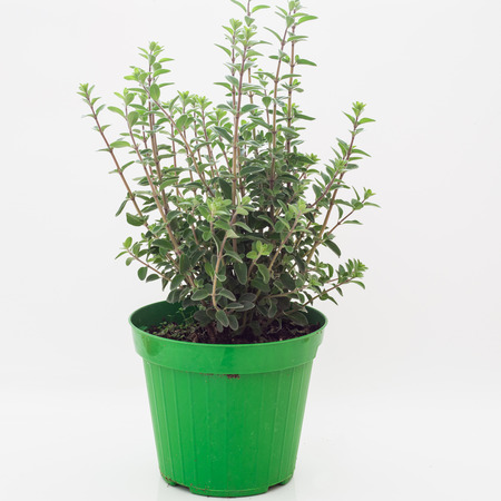 Fresh grass of marjoram That grow in vase, white background