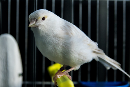 beautiful white Canary in a cage Stock Photo - 89226422