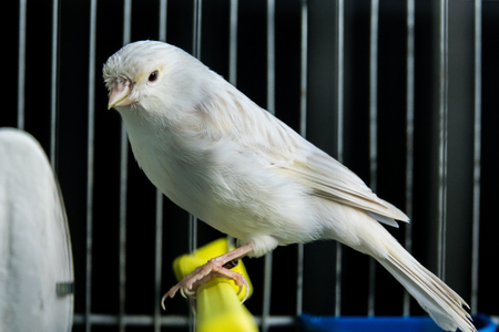 beautiful white Canary in a cage