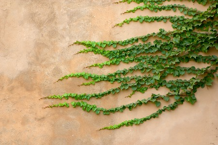 Green ivy on a wall of sandy color