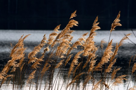 The reed shined by the sun on a background of a pond 스톡 사진