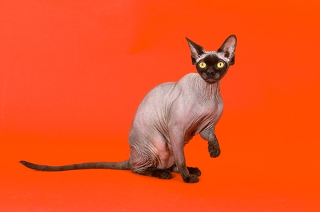 bald cat the Canadian sphynx 스톡 사진