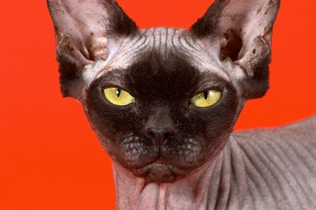 Portrait of a bald cat the Canadian sphynx