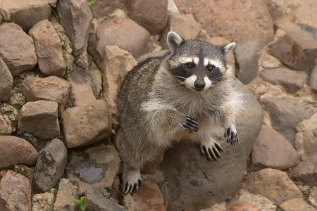 raccoon sitting on stones also looks upward at the spectator