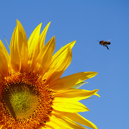 Sunflower and bee on a background of blue sky Stock Photo