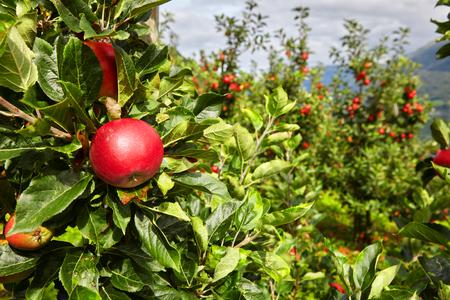 manzana: Apple en un huerto de manzanas en Noruega