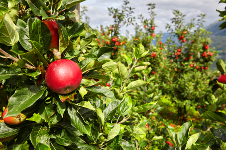 Apple in an apple orchard in Norway