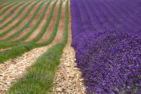 avignon: Rows of lavender blossoms and collected in the mountains of Provence