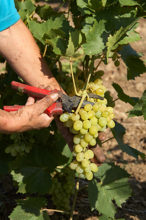 Bunch of white grapes in the hands of the winemaker with pruner