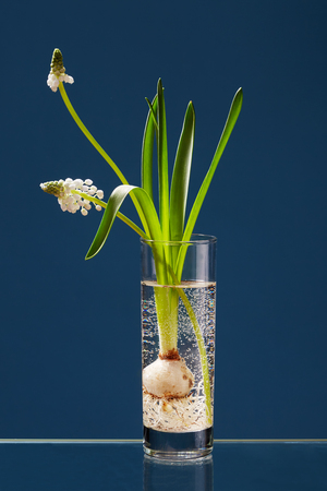White Muscari in a transparent vase on a blue background