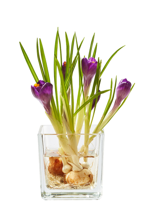 Bunch of crocuses in a water in transparent vase isolated