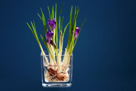 Bunch of crocuses in a water in transparent vase