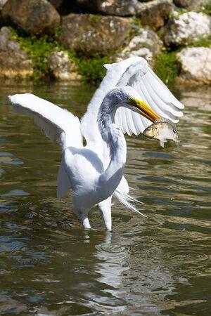 White Heron catches fish