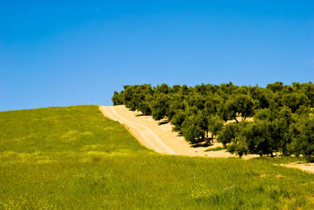 Landscape with Olive Trees in Andalusia, Spain. photo