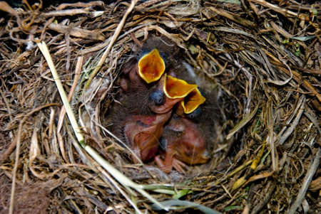 Close up of hangry small birds in its nest photo