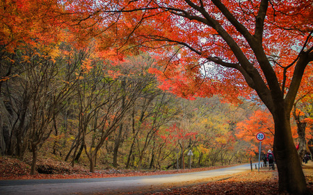 Colorful trees at Naejangsan National Park in autumn ,Korea