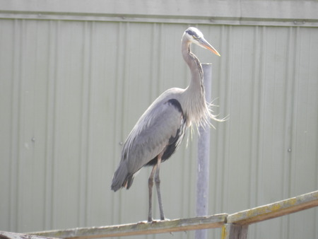Blue Heron on a boathouse in the CA delta