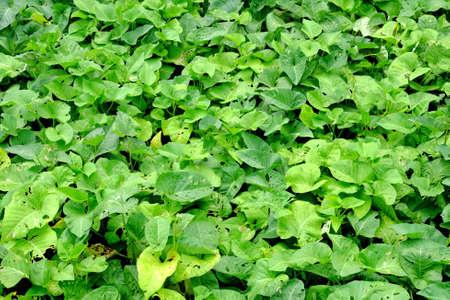 water hyacinth: Water hyacinth background Stock Photo