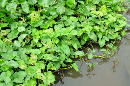 water hyacinth: Green plant background Water hyacinth