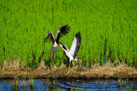 egrets: Egrets fly in the field, Thailand