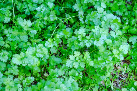 ingedient: Parsley background
