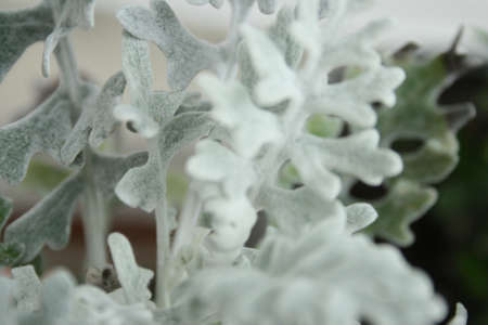 dusty: An annual plant named Dusty Miller Stock Photo
