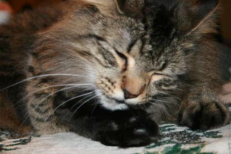 あらいくま猫の毛づくろい
