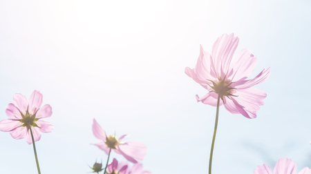 cosmos flowers swaying in the breeze