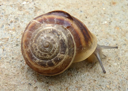 Photo snail that creeps on the ground, thrusting tendrils Stock Photo