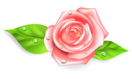 dew: Pink rose with two green leaves and dew drops