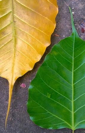 ficus: 2 different ficus leaves