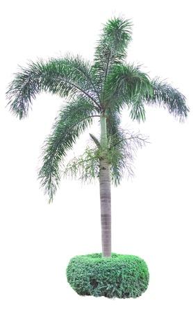 betel: Betel palm on white background