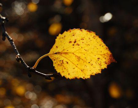 moscerino: Autunno il foglio di betulla e gnat  Archivio Fotografico