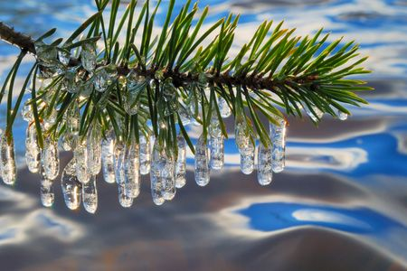 icicles: Pine branch with icicles.