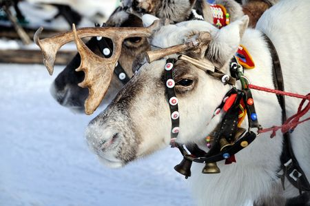 Sad face reindeer, frosty morning