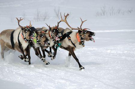 renna: Renne corsa su un campo di neve  Archivio Fotografico