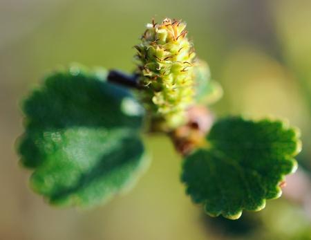 diminutive: close-up of a diminutive birch, shallow depth of focus Stock Photo