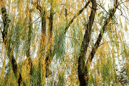 Yellow-green willow branches 写真素材