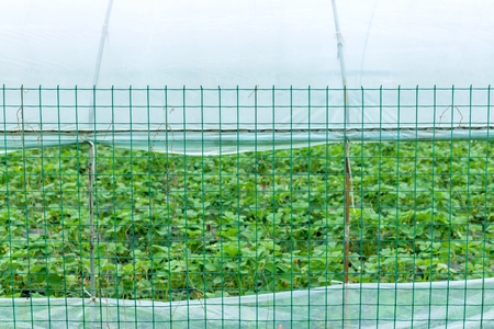 Strawberry farm iron net