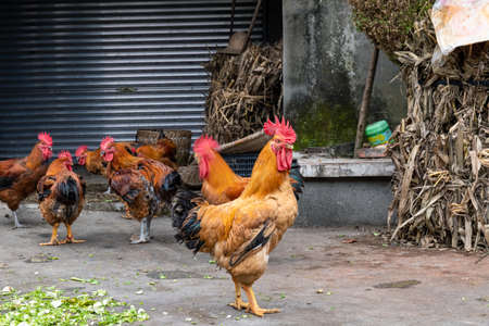 Domestic animal,  rooster