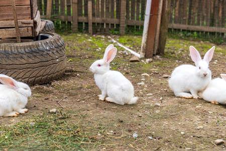 Big eared white rabbit