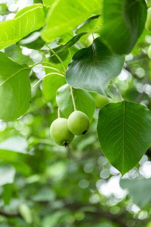 Pears on fruit tree