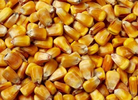 macro shot of corn used for ethanol fills the frame Stockfoto