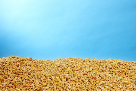 a pile of golden corn kernals shot with a blue background and space for copy